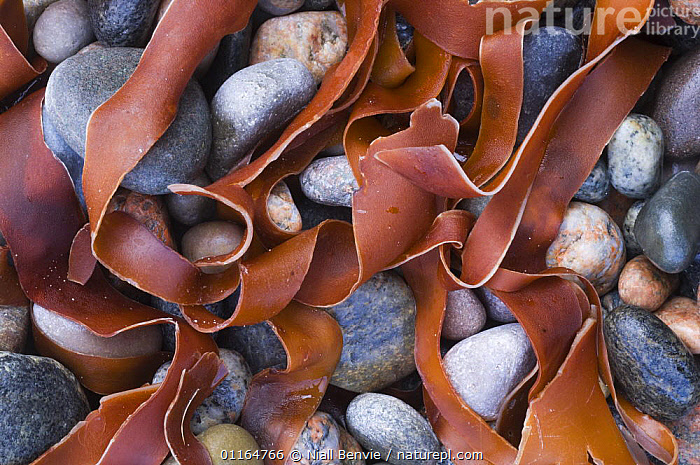 Kelp amongst pepples on beach, Tiree, Scotland UK  ,  ABSTRACT,ARTY SHOTS,BEACHES,COASTS,EUROPE,RED,ROCKS,SEAWEED,stones,UK,United Kingdom,Plants,British , Inner Hebrides  ,  Niall Benvie