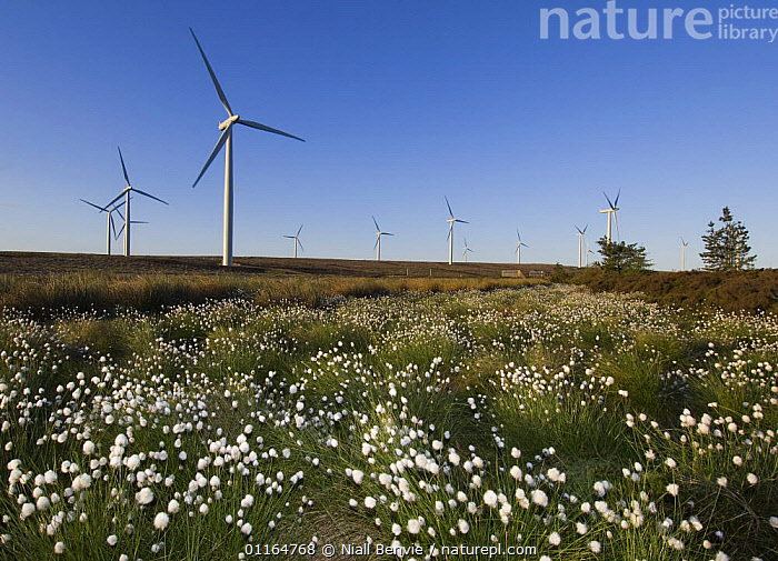 Cotton grass (Eriophorum genus) with wind turbines in background, Scotland UK. May 2006, electricity,ENERGY,EUROPE,FLOWERS,LANDSCAPES,power,renewable,SKIES,UK,WIND,windfarms,United Kingdom,Weather,British, Niall Benvie