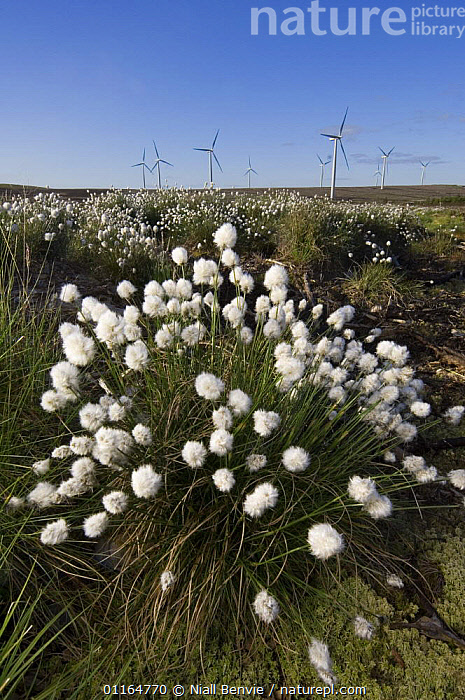 Cotton grass (Eriophorum sp) with wind turbines in background, Scotland UK. May 2006  ,  CYPERACEAE,electricity,ENERGY,EUROPE,FLOWERS,FLUFFY,LANDSCAPES,MONOCOTYLEDONS,PLANTS,power,renewable,SEDGE,UK,VERTICAL,WIND,wind turbines,windfarms,United Kingdom,Weather,British  ,  Niall Benvie