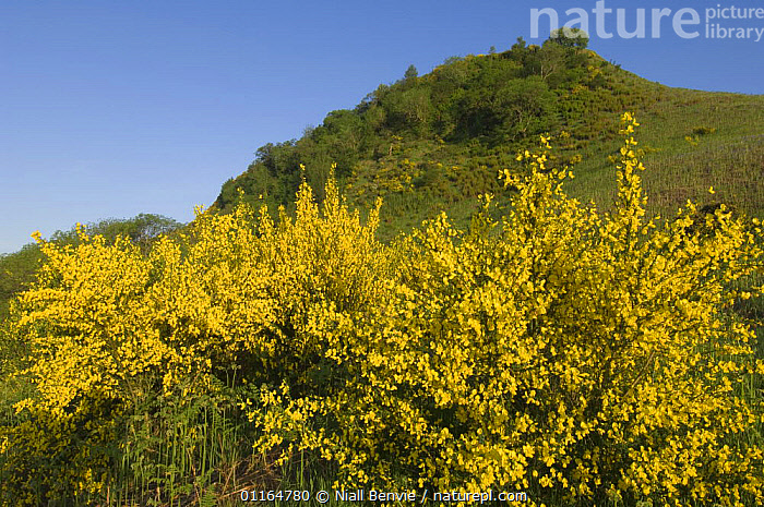 Broom (Bromus genus) in flower with Dunmore Fort in distance, near Callander, Scotland UK. May 2006, EUROPE,FLOWERS,GRAMINEAE,GRASSES,history,LANDSCAPES,MONOCOTYLEDONS,PLANTS,POACEAE,SHRUBS,SPRING,UK,YELLOW,United Kingdom,British, Niall Benvie