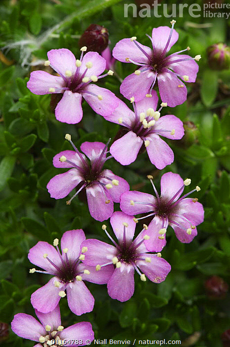 Moss campion (Silene acaulis) in flower, Faroe Islands, Denmark. June 2006  ,  CARYOPHYLLACEAE,DENMARK,DICOTYLEDONS,EUROPE,faroe islands,FLOWERS,petals,PINK,PLANTS,SCANDINAVIA,Stamen,SUMMER,VERTICAL  ,  Niall Benvie