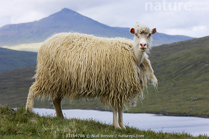 Faroese sheep (Ovis aries) beginning to moult, Faroe Islands, Denmark. June 2006, ARTIODACTYLA,BOVIDS,DENMARK,EUROPE,faroe islands,fleece,LANDSCAPES,LIVESTOCK,MAMMALS,MOUNTAINS,SCANDINAVIA,SHEEP,SUMMER,VERTEBRATES,Wool,woolly,Goats,Antelopes, Niall Benvie