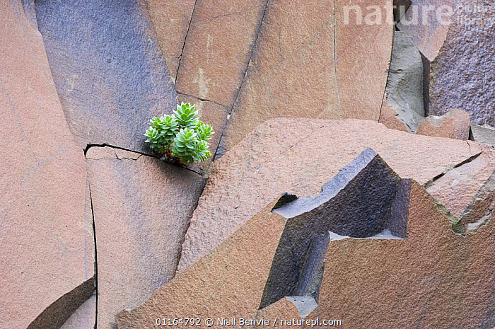 Solitary Roseroot (Rhodiola sp) growing in basalt quarry, Suduroy, the Faroe Islands, Denmark. June 2006  ,  ABSTRACT,arty,basalts,CRASSULACEAE,DENMARK,DICOTYLEDONS,EUROPE,faroe islands,GEOLOGY,PLANTS,quarries,ROCKS,SCANDINAVIA  ,  Niall Benvie
