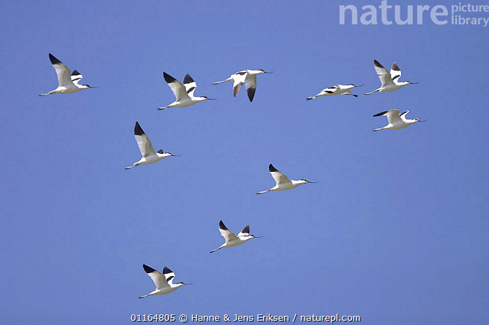 Avocet (Recurvirostra avosetta) in flight, Qurayyat, Oman  ,  ARABIA,ASIA,AVOCETS,BIRDS,FLYING,GROUPS,MIDDLE EAST,Oman,VERTEBRATES,WADERS  ,  Hanne & Jens Eriksen