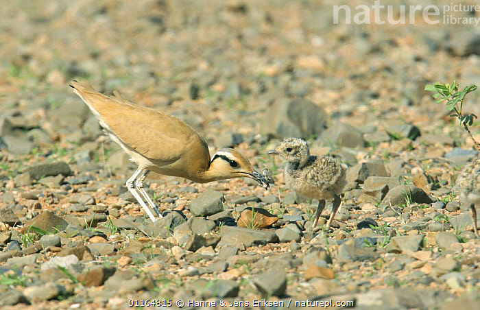 Cream coloured courser (Cursorius cursor) feeding chick, Hadobo, Socotra, Yemen  ,  ARABIA,ASIA,BABIES,BEHAVIOUR,BIRDS,CAMOUFLAGE,COURSERS,MIDDLE EAST,PARENTAL,VERTEBRATES,WADERS,Yeman  ,  Hanne & Jens Eriksen