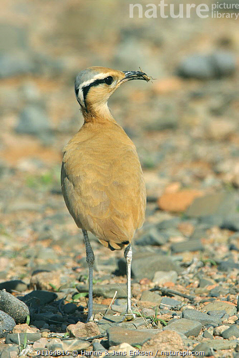 Cream coloured courser (Cursorius cursor) with grasshopper in mouth, Hadobo, Socotra, Yemen  ,  ARABIA,ASIA,BIRDS,COURSERS,FEEDING,MIDDLE EAST,PORTRAITS,VERTEBRATES,VERTICAL,WADERS,Yemen  ,  Hanne & Jens Eriksen