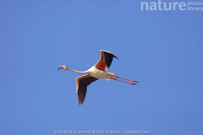 Greater flamingo (Phoenicopterus ruber) in flight, Qurayyat, Oman, ARABIA,ASIA,BIRDS,FLAMINGOS,FLYING,MIDDLE EAST,Oman,VERTEBRATES, Hanne & Jens Eriksen