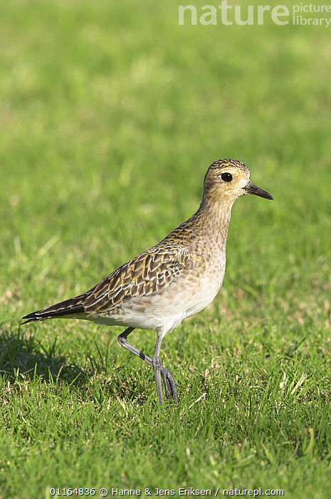 Pacific golden plover (Pluvialis fulva), winter plumage, Qurayyat, Oman, ARABIA,ASIA,BIRDS,MIDDLE EAST,Oman,PLOVERS,PORTRAITS,PROFILE,VERTEBRATES,VERTICAL,WADERS, Hanne & Jens Eriksen