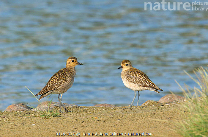 Two Pacific golden plover (Pluvialis fulva) with winter plumage, on shore, Abu Dhabi, United Arab Emirates, ARABIA,ASIA,BIRDS,MIDDLE EAST,PLOVERS,two,UAE,VERTEBRATES,WADERS,WATER, Hanne & Jens Eriksen