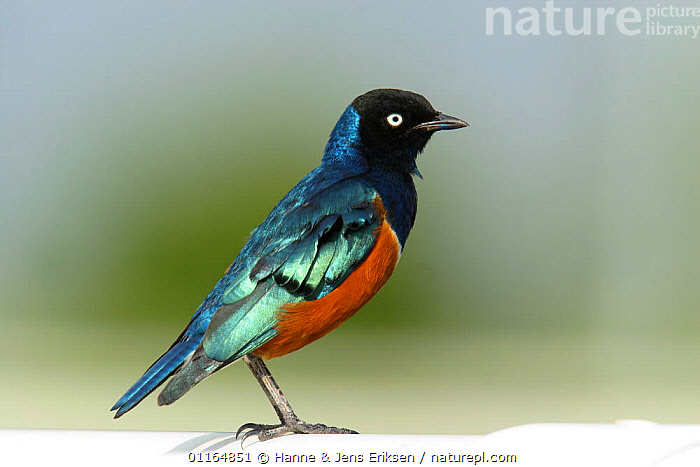Superb starling (Lamprotornis superbus), Dubai, United Arab Emirates, ARABIA, ASIA, BIRDS, COLOURFUL, EYES, MIDDLE-EAST, PORTRAITS, PROFILE, STARLINGS, UAE, VERTEBRATES, Hanne & Jens Eriksen
