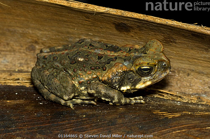 Cane Toad {Bufo marinus} sitting on palm frond, Cairns, Queensland, Australia  - introduced to Australia to control Cane beetle, the results have been catastrophic for native animals that eat the poisonous toad., AMPHIBIANS, Anura, TOADS, VERTEBRATES, Steven David Miller