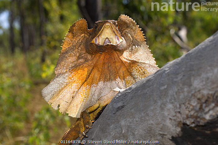 Frilled Lizard {Chlamydosaurus kingii} displaying, Garig Gunak Barlu National Park, Cobourg Peninsula, Northern Territory, Australia  ,  AGAMAS,AGGRESSION,BEHAVIOUR,DISPLAY,LIZARDS,MOUTHS,REPTILES,THREATENED,VERTEBRATES,VOCALISATION,Concepts,Communication  ,  Steven David Miller