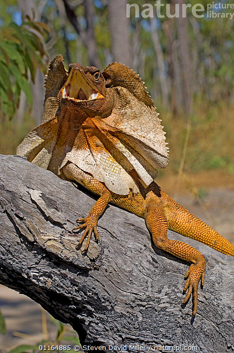 Frilled Lizard {Chlamydosaurus kingii} displaying, Garig Gunak Barlu National Park, Cobourg Peninsula, Northern Territory, Australia  ,  AGAMAS,AUSTRALASIA,AUSTRALIA,BEHAVIOUR,DISPLAY,LIZARDS,REPTILES,VERTEBRATES,VERTICAL,WARNING,Communication  ,  Steven David Miller