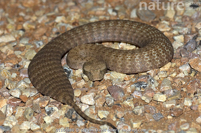 Pilbara / Desert death adder {Acanthopias pyrrhus}