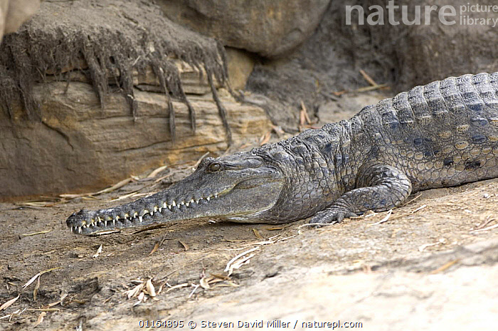 Australian freshwater crocodile {Crocodylus johnstoni} Sunning on bank of river, East Alligator River, Kakadu National Park, Northern Territory, Australia, AUSTRALASIA,AUSTRALIA,CROCODILES,CROCODILIANS,PROFILE,REPTILES,VERTEBRATES,Crocodylia, Crocodiles, Steven David Miller