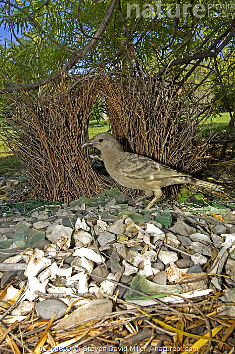 Male Great grey bowerbird {Chlamydera nuchalis} standing in front of bower, in garden, Lake Argyle, Western Australia  - Sticks, bones, glass, berries and leaves make up the treasures in this bower, AUSTRALASIA,AUSTRALIA,BIRDS,BOWERBIRDS,NESTS,VERTEBRATES,VERTICAL, Steven David Miller