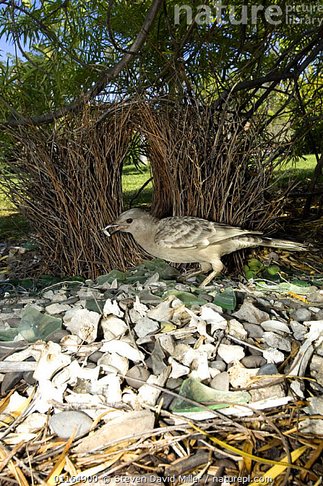 Male Great grey bowerbird {Chlamydera nuchalis} tending to the entrance of bower, in garden, Lake Argyle, Western Australia  ,  AUSTRALASIA,AUSTRALIA,BEHAVIOUR,BIRDS,BOWERBIRDS,CONSTRUCTING,NESTS,VERTEBRATES,VERTICAL  ,  Steven David Miller