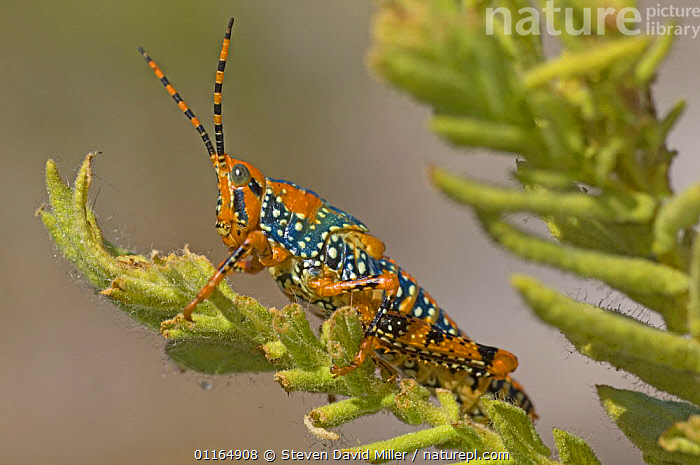 Leichhardt's Grasshopper {Petasida ephippigera} resting on leaf, Mt Borradaile, Arnhem Land, Northern Territory, Australia, AUSTRALIA,COLOURFUL,GRASSHOPPERS,INSECTS,INVERTEBRATES,ORTHOPTERA, Steven David Miller