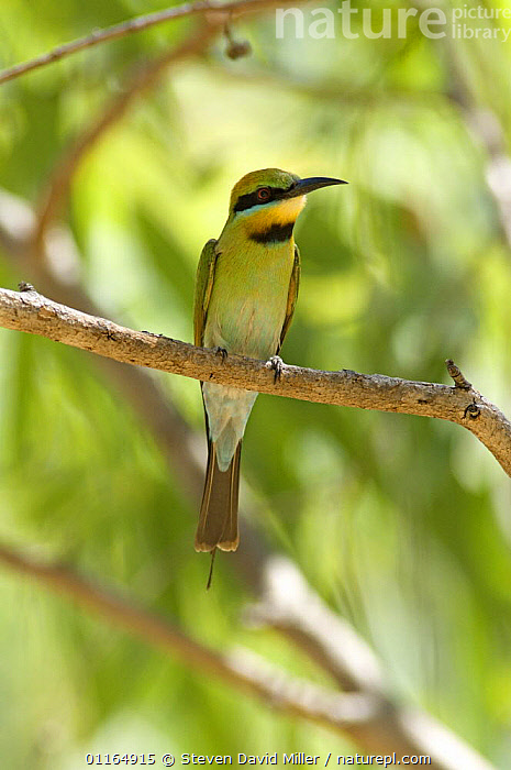 Rainbow / Australian bee-eater {Merops ornatus} perching on tree branch, Katherine, Northern Territory, Australia  ,  AUSTRALASIA,AUSTRALIA,BEE EATERS,BIRDS,VERTEBRATES,VERTICAL,Hymenoptera  ,  Steven David Miller