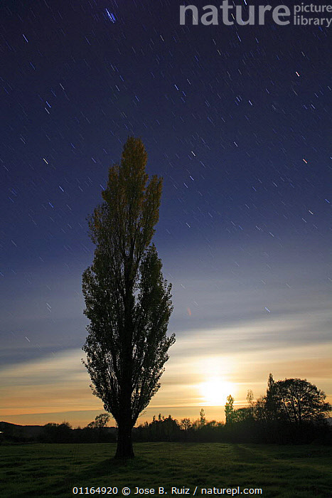 Silhouette of Poplar tree with night sky, moon and stars. San Martin de trevejo, Las Hurdes, Caceres, Extremadura, Spain., DICOTYLEDONS,NIGHT,PLANTS,SALICACEAE,SILHOUETTES,TREES,VERTICAL, Jose B. Ruiz