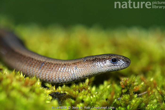 Slow worm {Anguis fragilis} Asturias, Spain, ANGUID LIZARDS,HEADS,LIZARDS,REPTILES,VERTEBRATES,,Lizards,,,Lizards,, Jose B. Ruiz