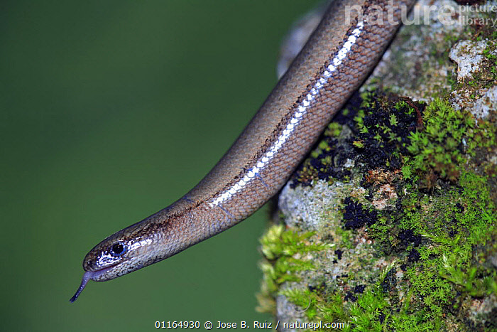 Slow worm {Anguis fragilis} profile with tongue extended, Asturias, Spain, ANGUID LIZARDS,EUROPE,LIZARDS,REPTILES,SPAIN,TONGUES,VERTEBRATES,,Lizards,,,Lizards,, Jose B. Ruiz