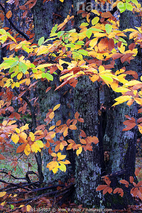 Sweet chestnut tree {Castanea sativa} with autumnal leaves, San Martin de Trevejo, Las Hurdes, Caceres, Extremadura, Spain, AUTUMN,DICOTYLEDONS,EUROPE,FAGACEAE,LEAVES,PLANTS,SPAIN,VERTICAL, Jose B. Ruiz