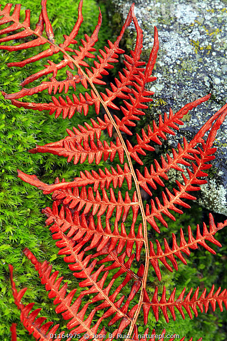 Abstract of fern lying on moss and stone, San Martin de Trevejo, Las Hurdes, Caceres, Extremadura, Spain, ABSTRACTS,ARTY SHOTS,FERNS,Plants, Jose B. Ruiz