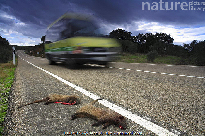 Two Egyptian mongoose {Herpestes ichneumon} dead by roadside, Spain.  ,  CARNIVORES,DEAD,DEATH,EUROPE,MAMMALS,MONGOOSES,ROADKILL,ROADS,SPAIN,VEHICLES,VERTEBRATES  ,  Jose B. Ruiz