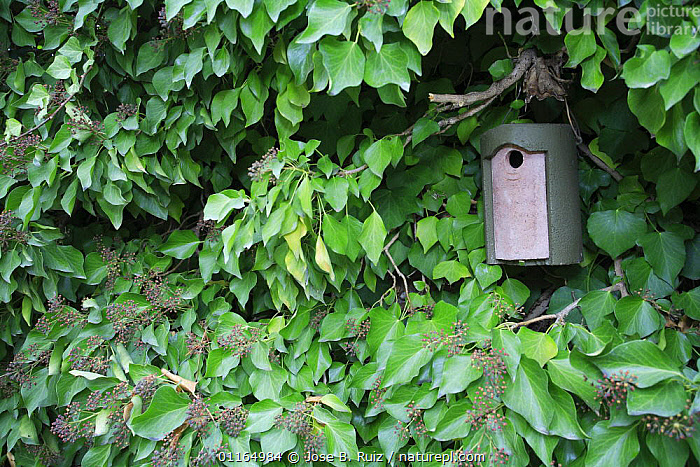 Nest box amongst Ivy, Spain, CONSERVATION,EUROPE, Jose B. Ruiz