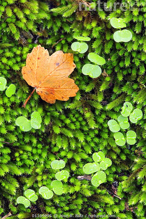 Spanish maple leaf (Acer opalus granatense) lying on moss, Spain  ,  abstracts, ACERACEAE, AUTUMN, DICOTYLEDONS, EUROPE, LEAVES, PLANTS, SPAIN, VERTICAL  ,  Jose B. Ruiz