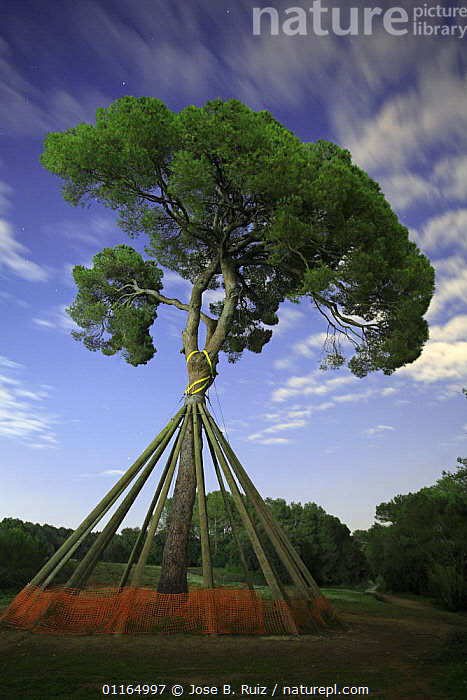 Pine tree propped-up, Sant Cugat del Valles, Barcelona, Spain.  ,  CONIFERS,GYMNOSPERMS,PINACEAE,PINES,PLANTS,SUPPORT,SUPPORTING,VERTICAL,Catalogue1  ,  Jose B. Ruiz