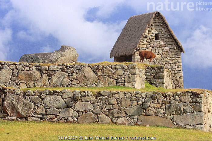 Llama (Lama glama) on inca ruins, Machu Picchu, Peru 2006.  ,  ANCIENT,ANDES,ARTIODACTYLA,BUILDINGS,CAMELIDS,CIVILIZATIONS,CULTURES,LLAMAS,MAMMALS,SOUTH AMERICA,VERTEBRATES,SOUTH-AMERICA  ,  Juan Manuel Borrero