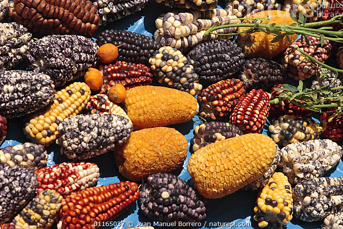 Many different varieties of corn / maize for sale in market of Pisac, Sacred Valley, Peru 2006.  ,  ANDES,CENTRAL AMERICA,FOOD,PLANTS,SOUTH AMERICA,VARIETY,VEGETABLES,SOUTH-AMERICA  ,  Juan Manuel Borrero