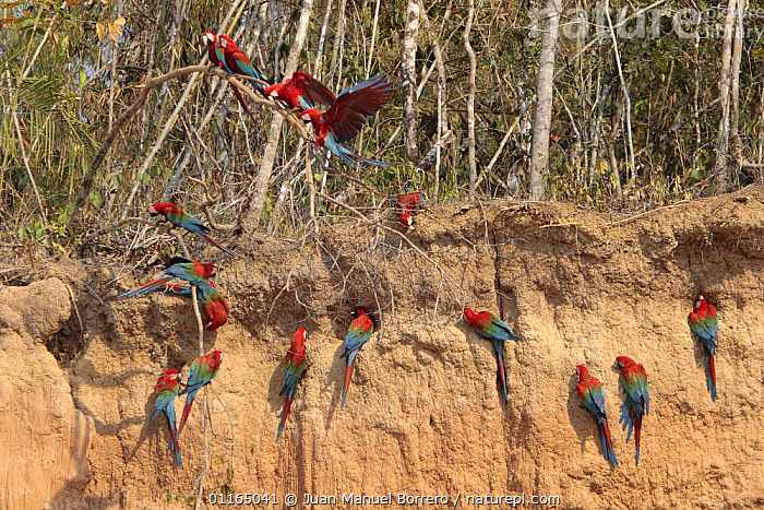Green-winged Macaw (Ara chloroptera) feeding at clay lick, Tambopata NP, Peru  ,  ANDES,BIRDS,GROUPS,MACAWS,PARROTS,RED AND GREEN MACAW,SOUTH AMERICA,VERTEBRATES  ,  Juan Manuel Borrero