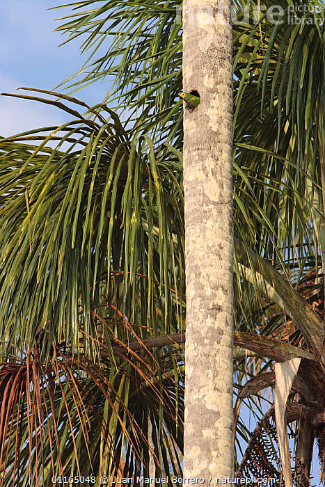 Red-bellied Macaw (Ara manilata) emerging from nest hole in palm tree, Tambopata National Reserve, Peru  ,  ANDES,BIRDS,MACAWS,NESTS,PARROTS,PERU,SOUTH AMERICA,TREES,VERTEBRATES,VERTICAL,Plants  ,  Juan Manuel Borrero