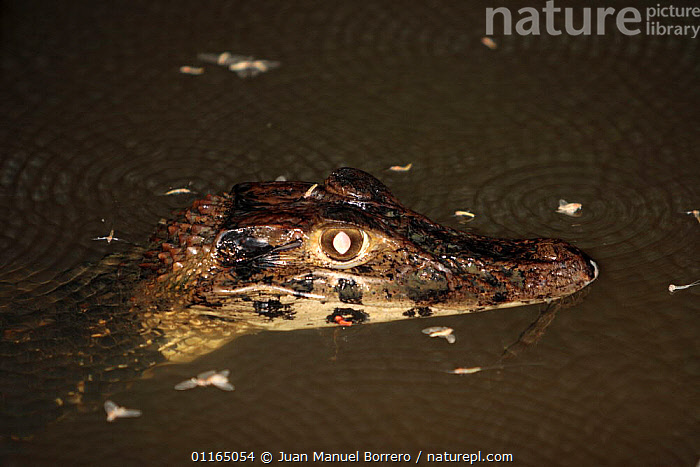 Black Caiman (Caiman / Melanosuchus niger). Sandoval Lake, Tambopata National Reserve, Peru, ALLIGATORS,CROCODILIANS,FRESHWATER,LAKES,REPTILES,RIVERS,SOUTH AMERICA,VERTEBRATES,Crocodylia, Caimans, Juan Manuel Borrero
