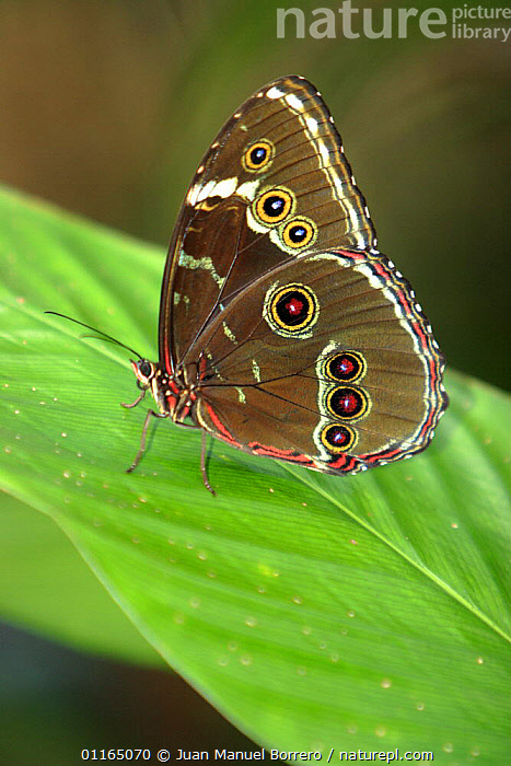Morpho butterfly (Morpho achilles), Tambopata NP, Peru, ANDES,ARTHROPODS,BUTTERFLIES,INSECTS,INVERTEBRATES,LEPIDOPTERA,PERU,PORTRAITS,SOUTH AMERICA,TROPICAL RAINFOREST,VERTICAL, Juan Manuel Borrero