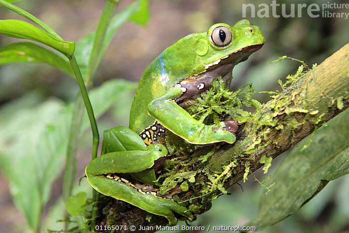 Leaf frog (Phyllomedusa bicolor), Tambopata NP, Peru  ,  AMPHIBIANS,ANDES,ANURA,EYES,FROGS,PERU,PORTRAITS,SOUTH AMERICA,TREE FROGS,TROPICAL RAINFOREST,VERTEBRATES  ,  Juan Manuel Borrero