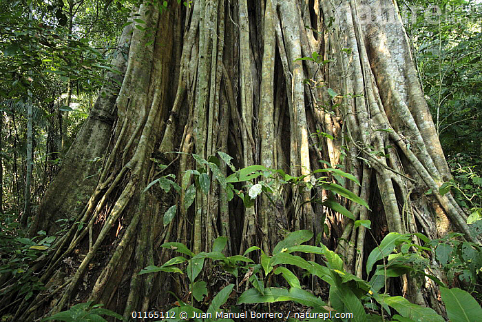 Roots of Giant strangler fig tree {Ficus sp} in Bahuaja Sonene National Park, Peru  ,  DICOTYLEDONS,MORACEAE,NP,PLANTS,RESERVE,ROOTS,SOUTH AMERICA,TROPICAL RAINFOREST,National Park  ,  Juan Manuel Borrero