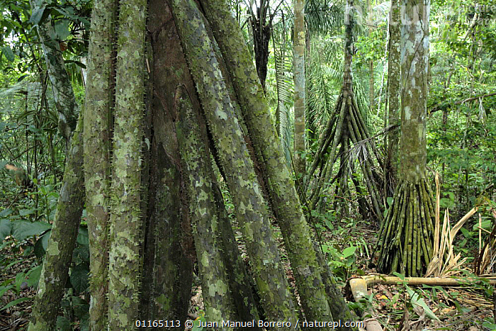 Aerial roots of rainforest tree, Bahuaja Sonene National Park. Peru, DICOTYLEDONS,NP,PLANTS,RESERVE,ROOTS,SOUTH AMERICA,TREES,TROPICAL RAINFOREST,National Park,SOUTH-AMERICA, Juan Manuel Borrero