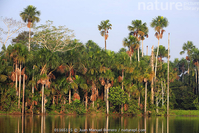 Aguaje palms (Mauritia flexuosa) on the banks of Lake Sandoval, Tambopata NP, Peru, ARECACEAE,LAKES,LANDSCAPES,MONOCOTYLEDONS,NP,PALMS,PERU,PLANTS,REFLECTIONS,SOUTH AMERICA,TREES,National Park, Juan Manuel Borrero