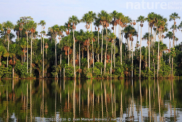 Aguaje palms (Mauritia flexuosa)on the banks of Lake Sandoval, Tambopata NP, Peru, ARECACEAE,LAKES,LANDSCAPES,MONOCOTYLEDONS,NP,PALMS,PERU,PLANTS,REFLECTIONS,SOUTH AMERICA,TREES,National Park, Juan Manuel Borrero