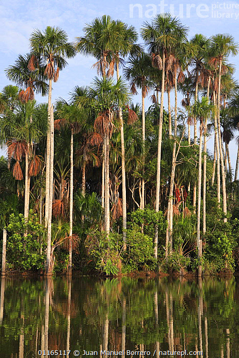 Aguaje palms (Mauritia flexuosa) on the banks of Lake Sandoval, Tambopata NP, Peru  ,  ARECACEAE,LANDSCAPES,MONOCOTYLEDONS,NP,PALMS,PERU,PLANTS,REFLECTIONS,SOUTH AMERICA,TREES,VERTICAL,National Park  ,  Juan Manuel Borrero