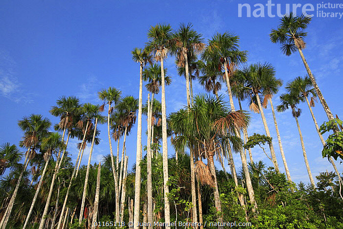 Aguaje palms (Mauritia flexuosa) on the banks of Lake Sandoval, Tambopata NP, Peru, ARECACEAE,MONOCOTYLEDONS,NP,PALMS,PERU,PLANTS,SOUTH AMERICA,TREES,National Park, Juan Manuel Borrero