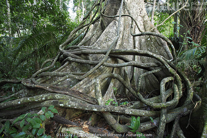 Aerial roots of Strangler fig tree {Ficus sp}  Lake Sandoval, Tambopata National Reserve, Peru  ,  DICOTYLEDONS,MORACEAE,PLANTS,RESERVE,ROOTS,SOUTH AMERICA,TREES,TROPICAL RAINFOREST  ,  Juan Manuel Borrero