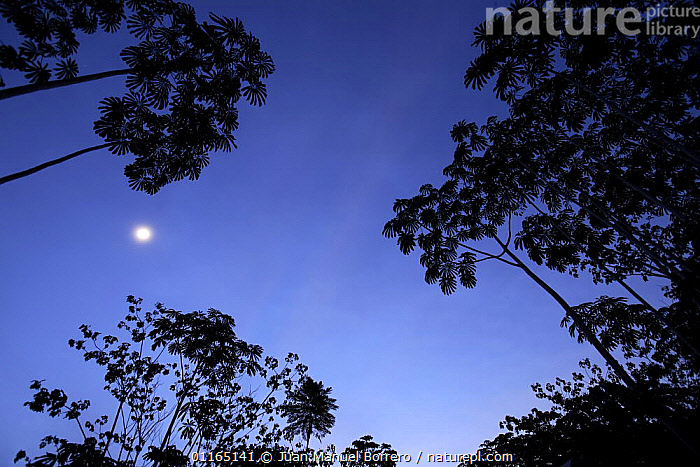 Silhouette of trees against clear sky and moon,  Tambopata National Reserve. Peru  ,  CANOPY,HIGH ANGLE SHOT,MOON,NIGHT,SILHOUETTES,SOUTH AMERICA,TREES,TROPICAL RAINFOREST,Plants ,low angle,SOUTH-AMERICA  ,  Juan Manuel Borrero