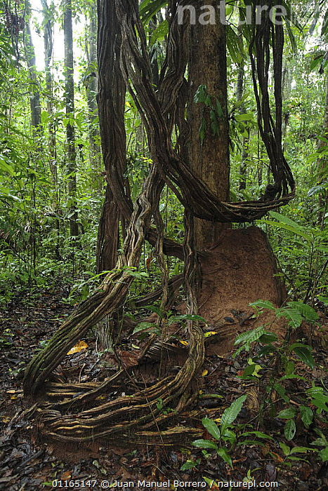 Liana in Tambopata National Reserve, Peru, CLIMBERS,PLANTS,SOUTH AMERICA,TREES,TROPICAL RAINFOREST,UNDERSTOREY,VERTICAL,SOUTH-AMERICA , understory, Juan Manuel Borrero