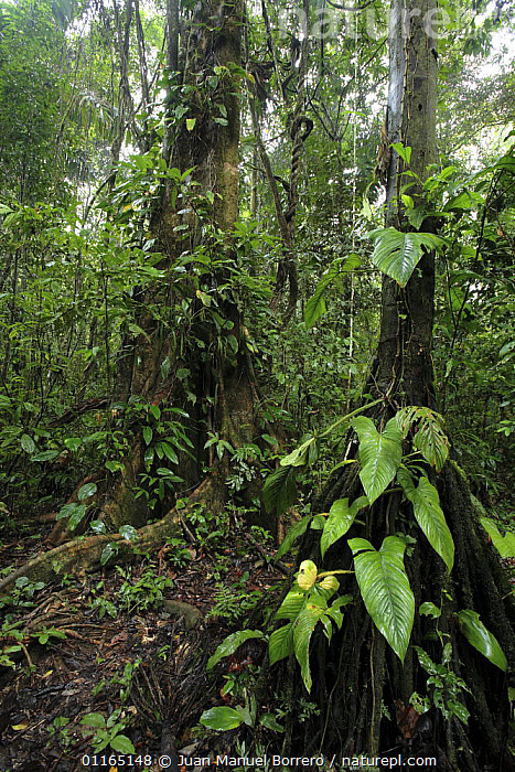 Rainforest in Tambopata National Reserve, Peru  ,  SOUTH AMERICA,TREES,TROPICAL RAINFOREST,UNDERSTOREY,Plants,SOUTH-AMERICA , understory  ,  Juan Manuel Borrero