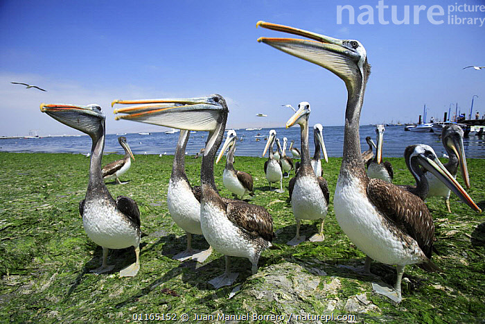 Brown pelicans (Pelecanus occidentalis ssp. thagus) Ballestas Islands, Peru  ,  BIRDS,COASTS,FLOCKS,GROUPS,HUMOROUS,PELICAN,PELICANS,SEABIRDS,SOUTH AMERICA,VERTEBRATES,Concepts,SOUTH-AMERICA  ,  Juan Manuel Borrero